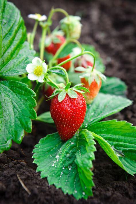 growing strawberries grange  op