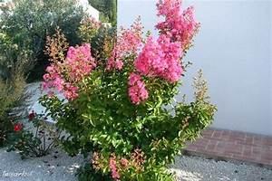 Taille Du Lilas Des Indes : lagerstroemia lilas des indes nature faune flore ~ Nature-et-papiers.com Idées de Décoration