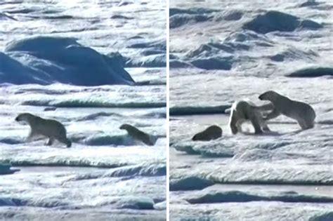 Killer Bear Eats Baby On Ice In Shock