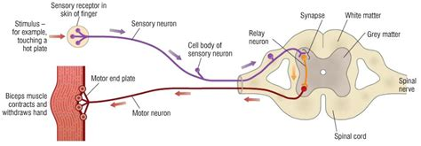 Diagram A Reflex Arc by 2 86 Describe The Structure And Functioning Of A Simple