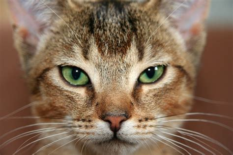 fascinating facts   abyssinian cat  dog