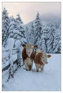 Winter Farm Cows