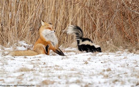 sprayed by skunk interesting facts about skunks just fun facts