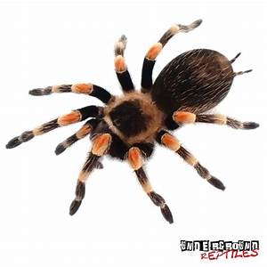 Mexican Redknee Tarantulas For Sale - Underground Reptiles