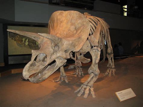 Triceratops, Royal Tyrrell Museum Of Palaeontology
