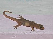 Common house gecko - Wikipedia