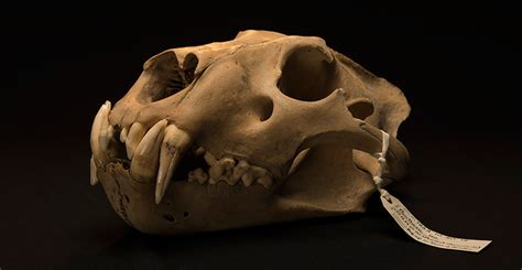 barbary lion skull   tower  london natural