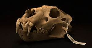 Barbary Lion Skull From The Tower Of London