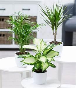 Weidenruten Zum Pflanzen Kaufen : zimmerpflanzen mix 39 classic 39 1a zimmerpflanzen online ~ Eleganceandgraceweddings.com Haus und Dekorationen