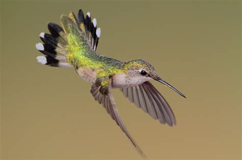 related keywords suggestions for hummingbird adaptations