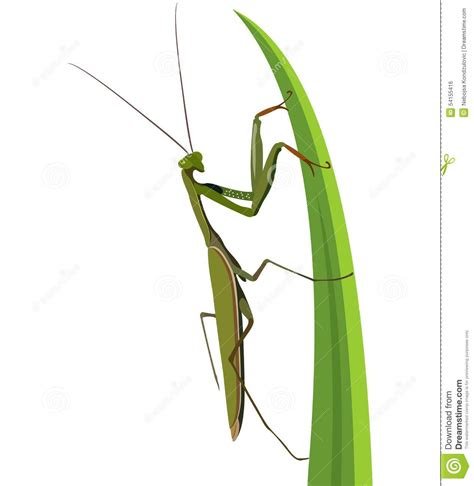 Female Praying Mantis On White Stock Vector - Image: 54155416