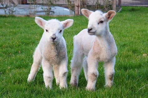 lambs beaten  death  gang  thugs  hung
