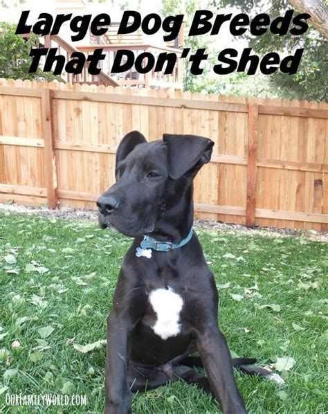 what types of dogs dont shed large breeds that don t shed large breeds pets
