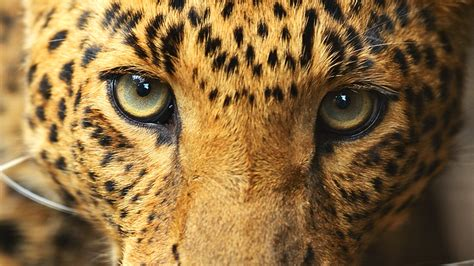 Eye Of The Leopard Facts  National Geographic