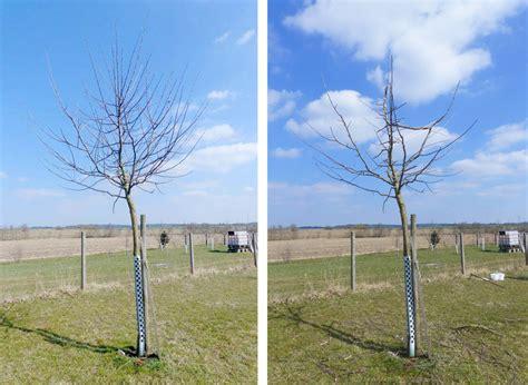 kirschbaum schneiden vorher nachher apfelbaum schneiden obstbaumschnittschule