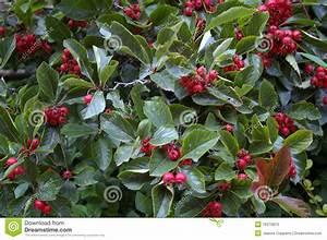 Baum Mit Roten Beeren : strauch mit roten beeren stockbild bild von sauber zweig 16370813 ~ Markanthonyermac.com Haus und Dekorationen