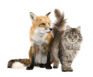 is a fox a or cat random views the tale of the fox and the cat