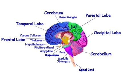 Label Brain Diagram by Unlabeled Eye Diagram Cliparts Co