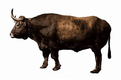 Transparent Buey Bison American Animal Kindpng