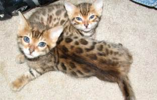 cat colorado aspengold bengals colorado bengal cats and kittens for