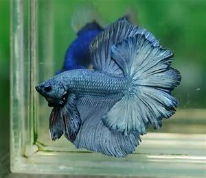 Betta, Blue dragon and Steel on Pinterest