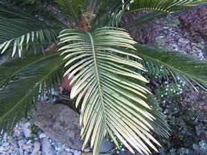 Palme Gelbe Blätter : palme bekommt pl tzlich gelbe triebe seite 1 palmfarne ~ Lizthompson.info Haus und Dekorationen
