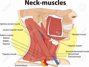 Neck Muscles Anatomy Pictures
