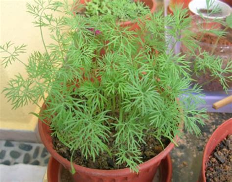 grow dill in pot 11 culinary herbs worth growing indoors site for everything