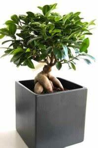 Comment Tailler Un Ficus : les diff rentes vari t s de ficus et l 39 entretien ~ Melissatoandfro.com Idées de Décoration