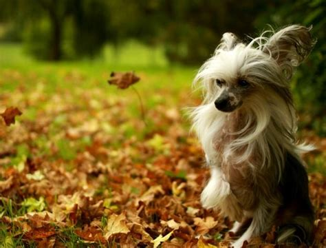 powder puffs chinese crested images  pinterest