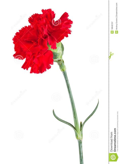 red carnation royalty  stock photography image