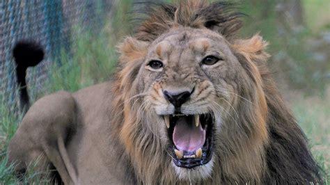 rare asiatic lions threatened  sanctuary deaths rise