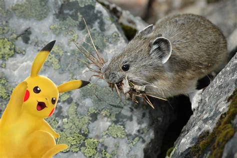 what color is pikachu the verge review of animals pika vs pikachu the verge