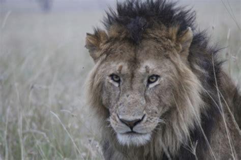 keeping lions  livestock building fences  save