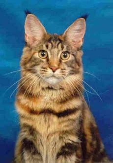 love maine coon cats