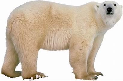 Polar Bear Bears Transparent Clipart Animals Ours