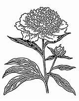 Peony Coloring Peonies Flowers sketch template