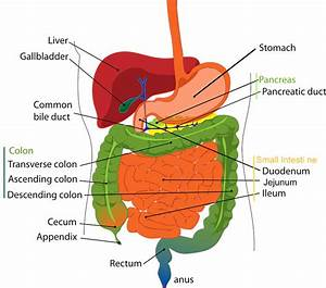 Vital Organs  Digestive Series - The Liver