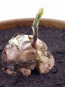 Avocado Pflanze Pflege : avocado pflege so gedeiht das b umchen pr chtig ~ Lizthompson.info Haus und Dekorationen