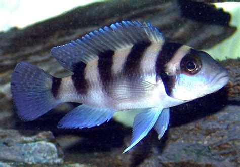 poisson lac tanganyika aquarium poissons exotiques vente magasin uniquement cichlid 233 s africains lac tanganyika julido