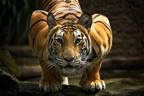 los tigres  su atractivo salvaje en  fotografias