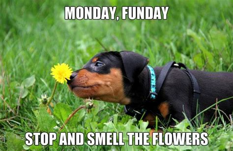 Monday Dog Meme - 10 best images about sweet laughs on pinterest mondays far away and hamsters