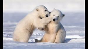 Adorably Cute Polar Bear Cubs Go Sledging