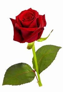 Single red Rose transparent background