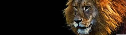 Lion Male Face Dual Ultra Wallpaperswide