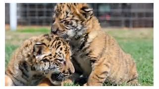 Displaying Images For - White Ligers And Tigons Cubs  White Liger Cubs
