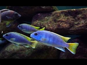 Mbuna African cichlids - YouTube