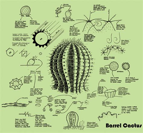 Diagram Of Saguaro Cactu by Schooled By Nature Corporate Knights