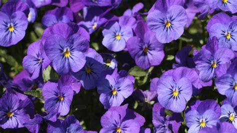 fiori viole viole mammole come coltivarle in casa www stile it