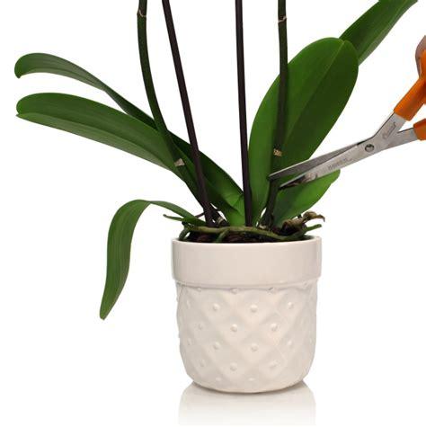orchids rebloom can my phalaenopsis orchid rebloom